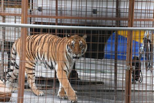 Las enfermedades más comunes de los felinos salvajes en cautividad