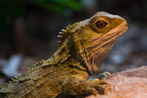 El tuátara: un superviviente de la era de los dinosaurios