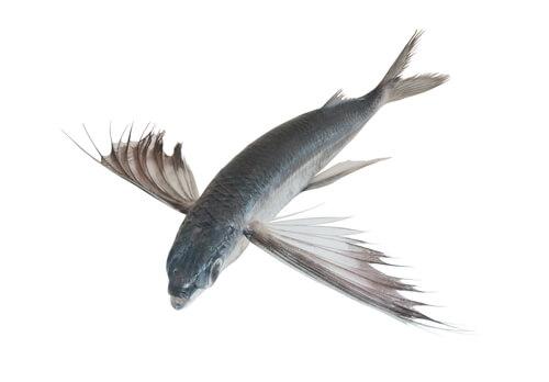 Pez volador tropical