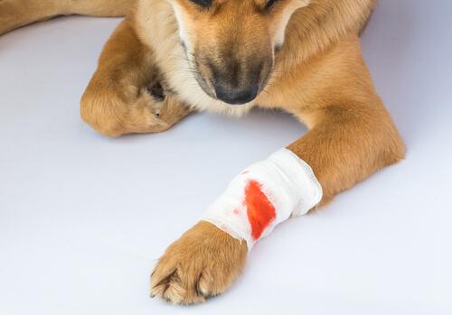 Vendaje en la pata de un perro con tétano