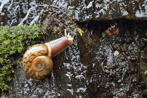 El caracol de Quimper: características y hábitat