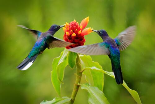 Pareja de colibríes en una flor