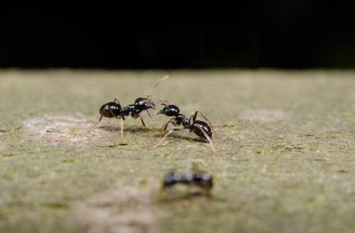 Comunicación entre hormigas
