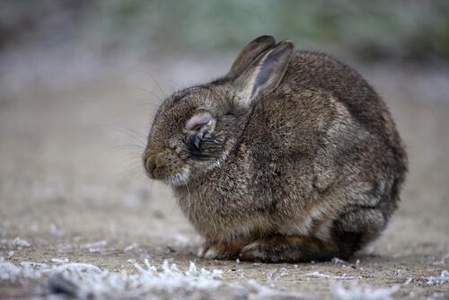 Conejo con mixomatosis