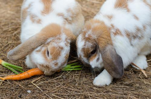 Conejos comen zanahoria
