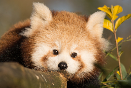 Cría de panda rojo