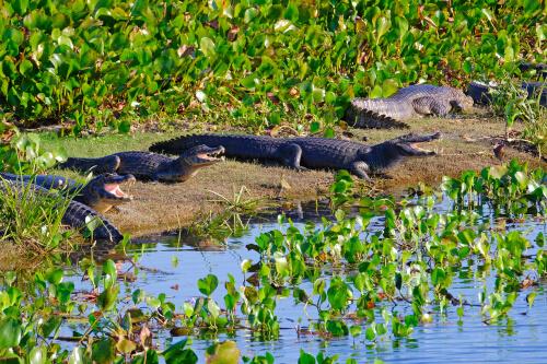 Ejemplares del caimán yacaré en la orilla