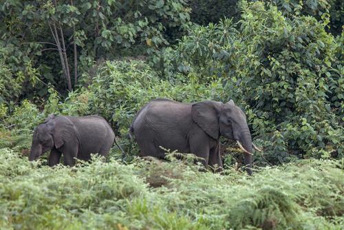 Elefantes de los bosques