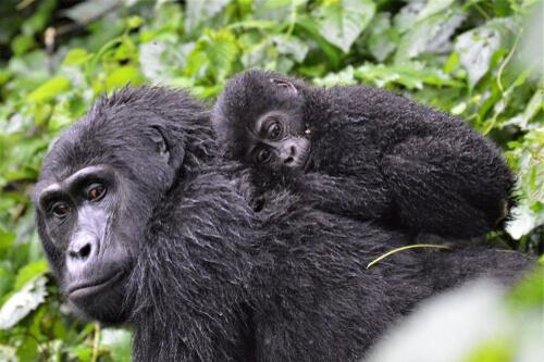 Una familia de gorilas es más compleja de lo que parece