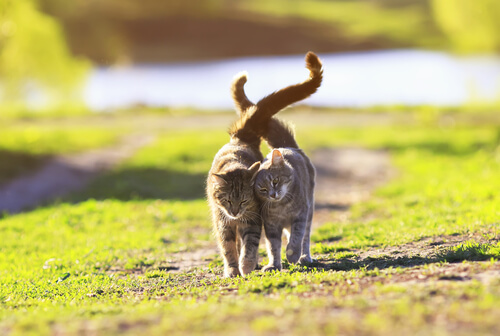 Gatos caminando juntos