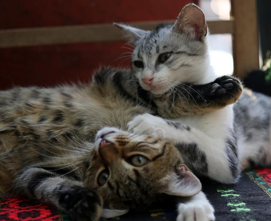 Cómo presentar a dos gatos