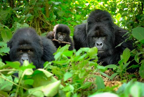 Gorilas en familia