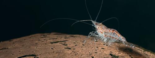 Kril en uno de los ecosistemas oceánicos