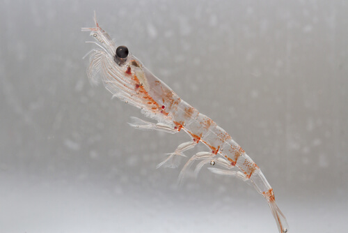 La importancia del kril en los ecosistemas oceánicos