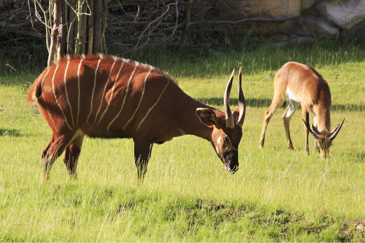 Dos ejemplares de kudú.