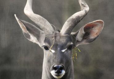 Diferencias entre el kudú menor y el kudú mayor