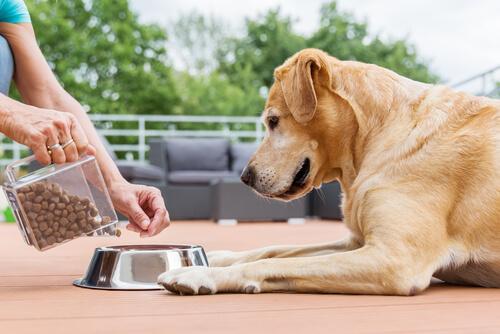 Labrador comiendo
