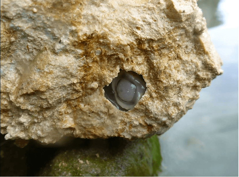 River worm (Lithoredo abatanica) on a rock.