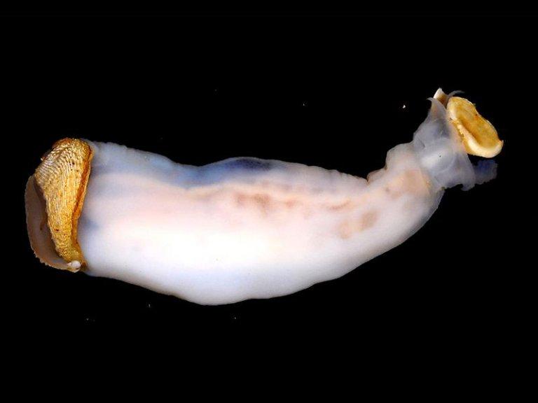Lithoredo abatanica, el molusco que puede cambiar el curso de un río