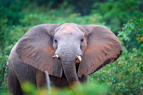 Los elefantes de los bosques, guardianes de los árboles