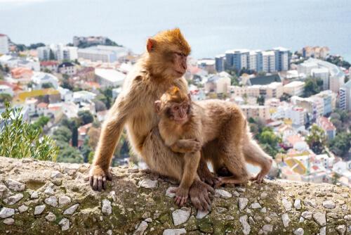 Unos monos adoptan a una cría herida de otro grupo