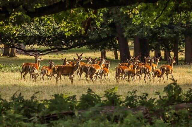 Las manadas de ciervos: alimentación y hábitat