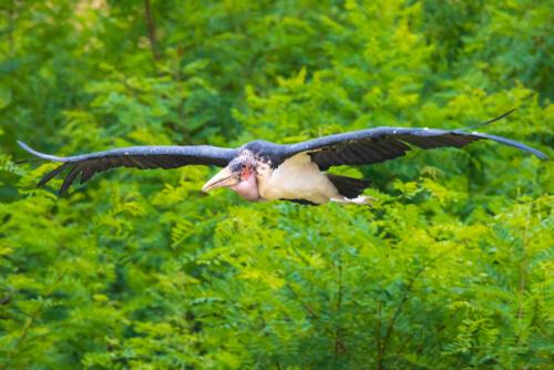 Marabú africano volando