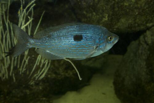 La menola: un pez que vive en los fondos rocosos