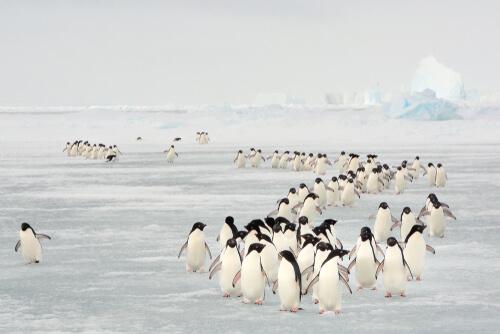 Migración de los pingüinos