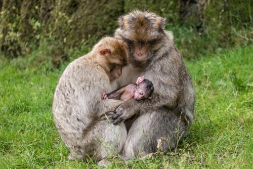 Monos adoptan a una cría