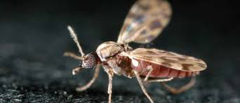 Mosquito Culicoides