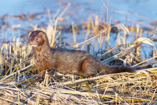 El visón americano: hábitat y características