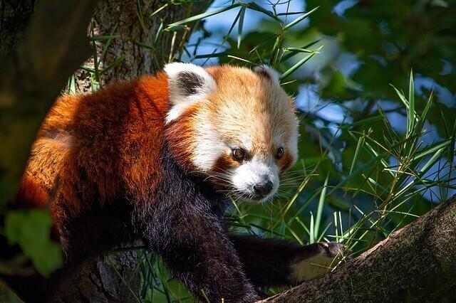 Oso panda rojo: comportamiento y hábitat