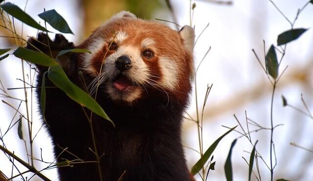 Panda menor