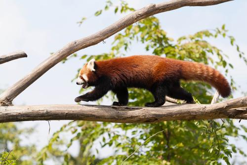 Panda rojo en un árbol