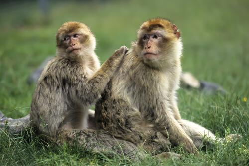 Pareja de macacos