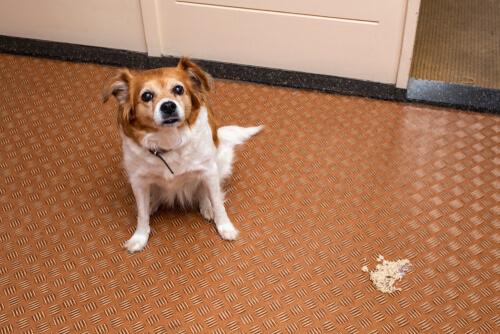 Síntomas de la enfermedad inflamatoria intestinal en perros