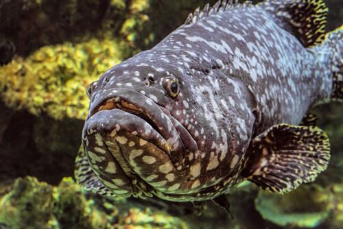 El pez guato: características y hábitat