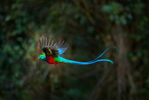 Quetzal centroamericano