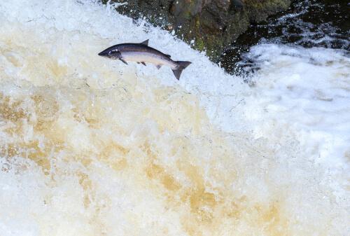 Salmón saltando en su migración