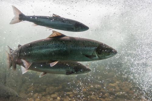 La anemia infecciosa del salmón