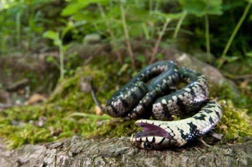 Tanatosis en una serpiente