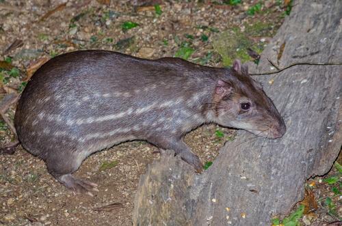 Tepezcuintle, un roedor cuyo nombre significa 'perro de montaña'