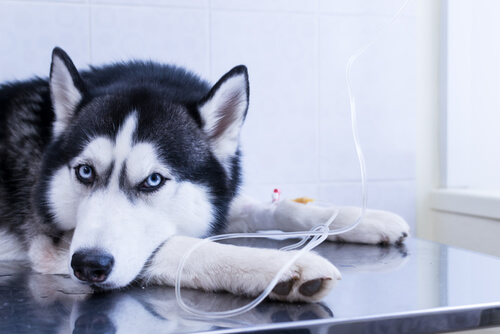 Tratamiento de enfermedad renal en un perro