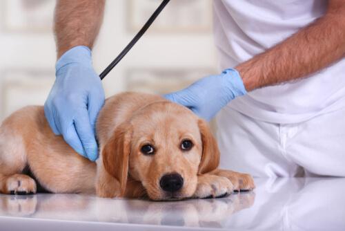 Tratamiento de un perro intoxicado