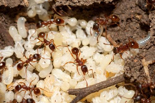 Trofolaxis en hormigas