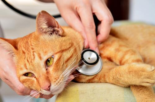Veterinario examina a un gato