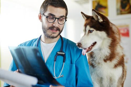 Veterinario enseña radiografía a husky siberiano