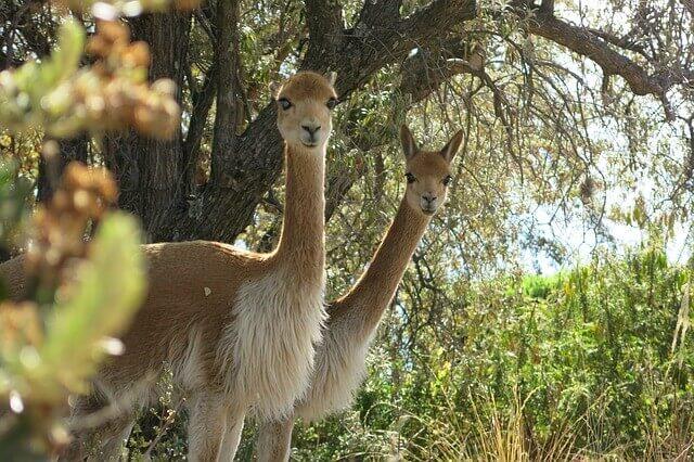 La vicuña: el símbolo patrio peruano