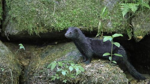 Visón americano: hábitat